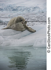 Crabeater seals on the ice.