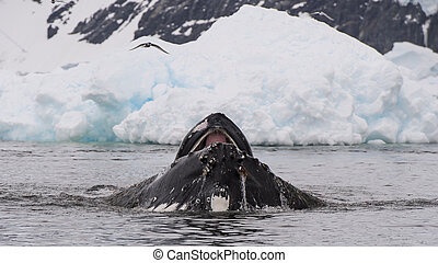 Humpback Whale feeding krill in Antarctica with ice...