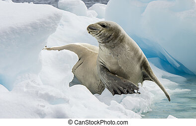 Crabeater seals on the ice. - Crabeater seals on the ice in...