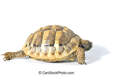Tortoise - Herman tortoise with white background