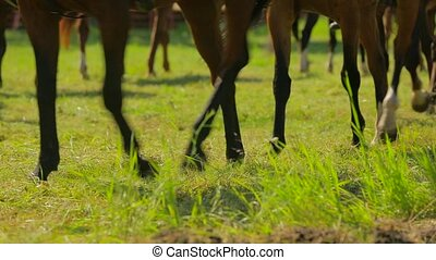 Brown Horses Walking Around In Circle - Waist down shot of...
