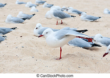 Seagulls on the beach - A big flock of seagulls sitting on...