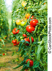 Tomato plants growing in greenhouse - Rows of tomato plants...