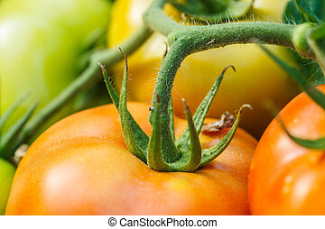 Macro of ripening tomatoes in a greenhouse