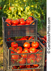 Harvested tomato in crates ready to ship