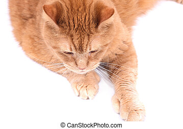Red fat cat separated on white background