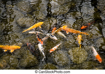 goldfish - Shoal of goldfish in a small pond