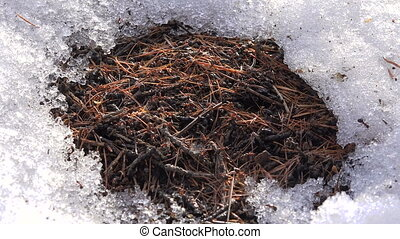 Anthill Spring Thawed Patch in The Snow - Anthill Spring...