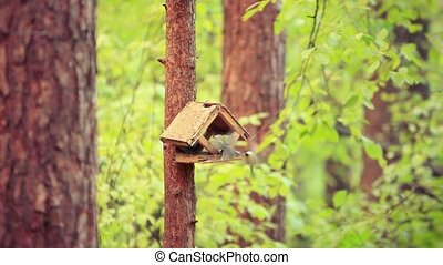 Spring little bird sparrow on birdhouse in pine forest....