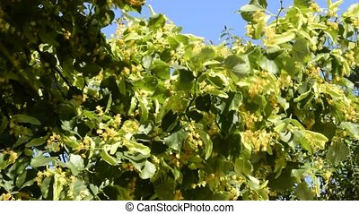 Lime tree,Tilia platyphyllos, medicinal tree with flower