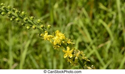 Common agrimony, Agrimonia eupatoria, medicinal plant with...
