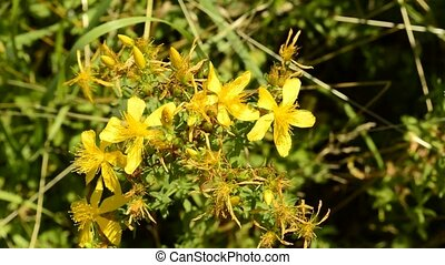 St Johns wort, medicinal plant with flower in June