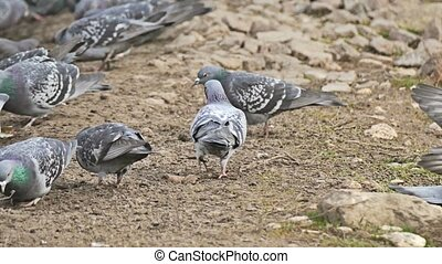 flock of dove pigeons sitting on the brown earth bird pecks grain