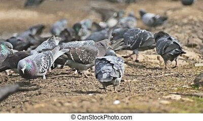 flock of pigeons sitting on the dove brown earth bird pecks...