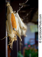 Corncobs drying - Hanged corncobs drying in rural Nepal