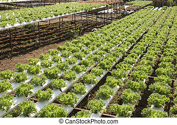 Organic vegetables hydro phonic Plantation are grown on the...
