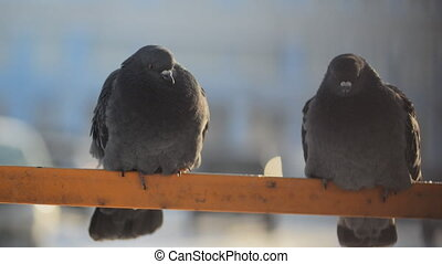 Two thick fluffy gray pigeons sitting on the yellow tube...