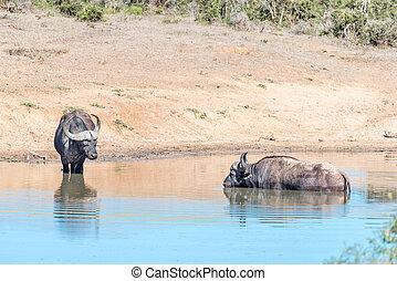 africaine, buffles, dans, eau,