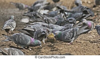 flock dove of pigeons sitting on the brown earth bird grain...