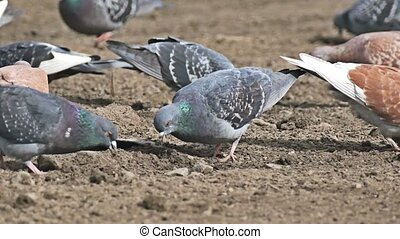 flock of pigeons sitting on the brown dove earth bird pecks...