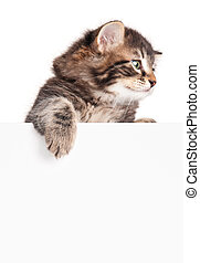 Cute siberian kitten with blank billboard on white...