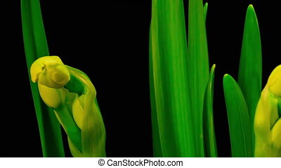 Blooming Narcissus Isolated Black Timelapse