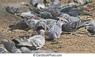 flock dove of pigeons sitting on the brown earth bird pecks...