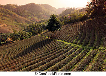 ASIA THAILAND CHIANG RAI MAE SALONG TEA PLANTATION - the tea...