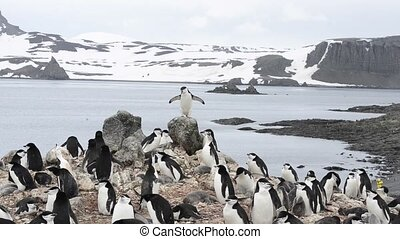Chinstrap penguins on the nest - Chinstrap penguin on the...