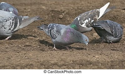 flock of pigeons sitting on the brown earth dove bird grain...