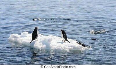 Chinstrap penguins on the ice - Chinstrap penguin plaing on...