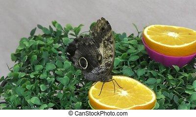 Butterfly have breakfast orange juice. - Tropical Butterfly...
