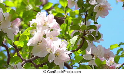 White Apple Tree Flowers - Bee Pollinating Spring Apple Tree...