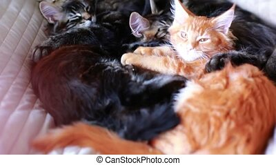 Maine Coon Cat and kitten hug and sleep in the bed....