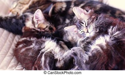 Maine Coon Cat and kitten hug and sleep in the bed 1920x1080...
