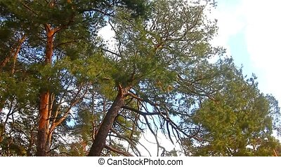 pine forest treetops in the blue sky nature landscape - pine...