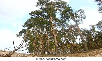 pine forest tree tops in blue sky nature landscape dry twig...