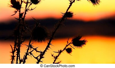 camel thorn on background sun of sunrise sunset landscape -...