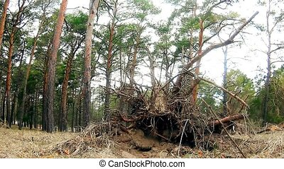 wild forest landscape nature pine dry roots - wild forest...