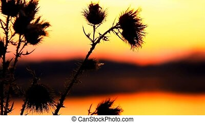 camel thorn sun on background of sunrise sunset landscape -...