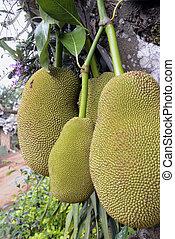 ASIA THAILAND MAE HONG SON - a Durian tree near the village...