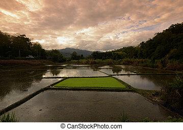 ASIA THAILAND MAE HONG SON - a rice field near the village...