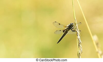 Four-Spotted chaser, dragonfly sitting on a leaf near a pond