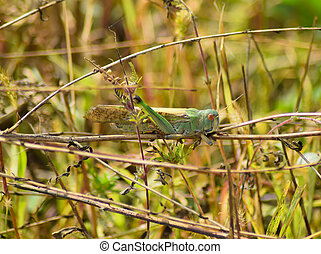 Migratory locust sits on ambrosia. Orthoptera Insect, pest...