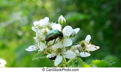Green metallic dor beetle on white blackberry flowers -...