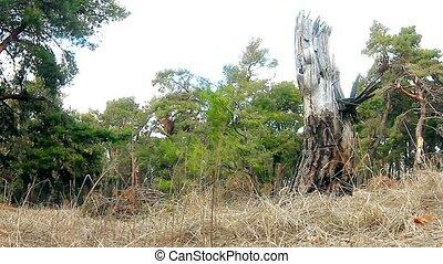 wild pine forest landscape motion nature dry stump - wild...