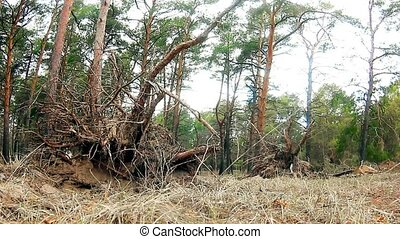 wild forest landscape pine nature dry roots - wild forest...