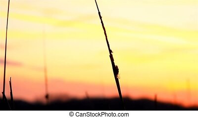 river bulrush grass at sunset orange landscape nature -...