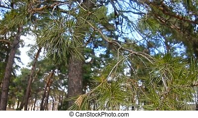 pine forest tree tops in blue sky nature landscape