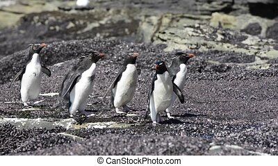 Rockhopper penguin in Falkland Islands - Rockhopper penguin,...